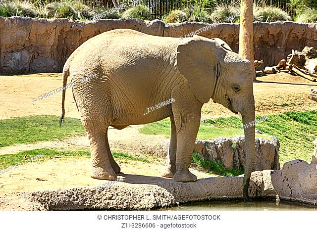 Family of African Elephants at the Reid Park Zoo in Tucson Arizona