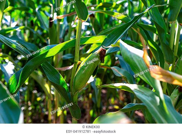 Ripening corn on the cob growing in the field on a hot sunny summer day