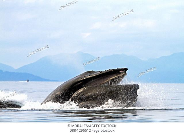 Humpback whale  Mouth open with lateral lunge  Surface feeding Expandable throat grooves Megaptera novaeangliae  Order: Cetacea Suborder: Mysticeti Family:...