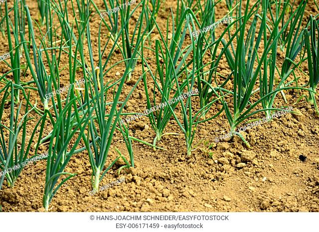 Spring onions on a field