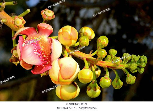 Couroupita guianensis (Sal Tree)whose common names include Ayahuma and the Cannonball Tree. The tree is medium to large deciduous canopy round or oval dense...