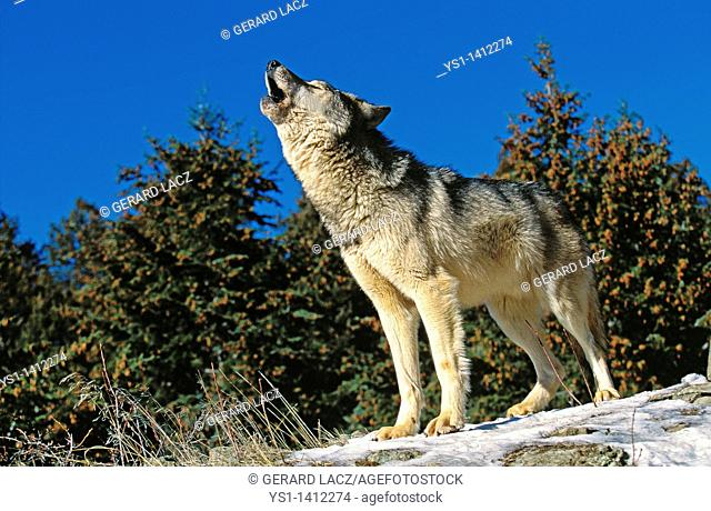 NORTH AMERICAN GREY WOLF canis lupus occidentalis, ADULT HOWLING ON ROCK, CANADA
