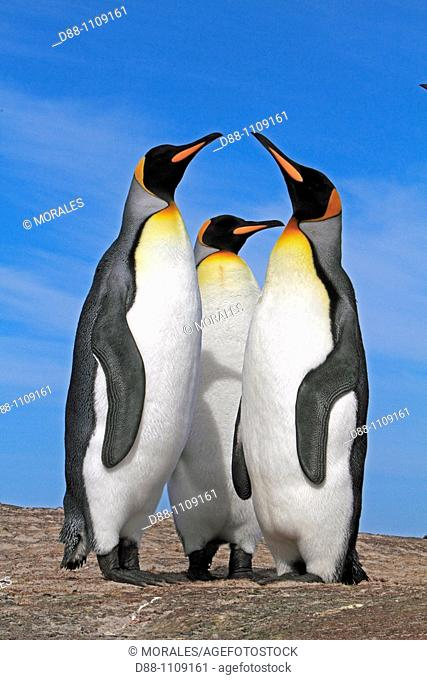King Penguin (Aptenodytes patagonicus). Saunders Island, Falkland Islands