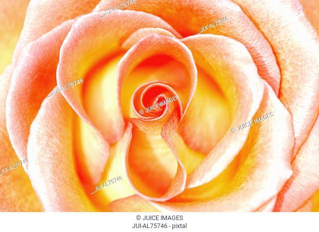 Close-up of orange and white rose