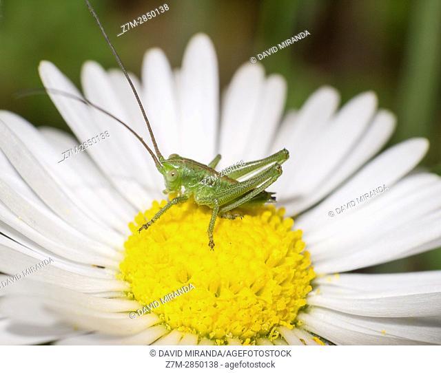 Green cricket on white and yellow flower. Ensifera. Insect. Arthropoda. Macro