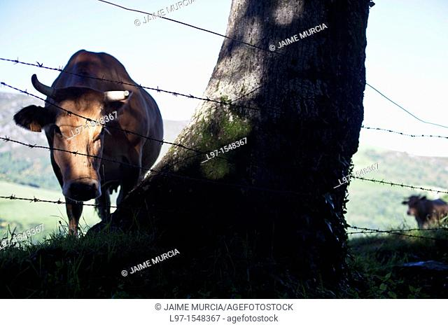 Cow in field behind wire fence