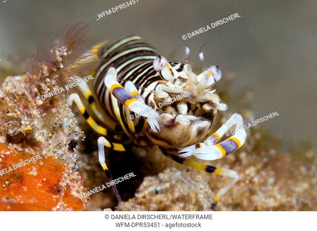 Bumble Bee Shrimp, Gnathophyllum americanum, Ambon, Moluccas, Indonesia