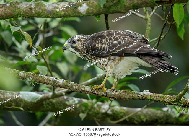 Broad-winged Hawk (Buteo platypterus) perched on a branch in Costa Rica