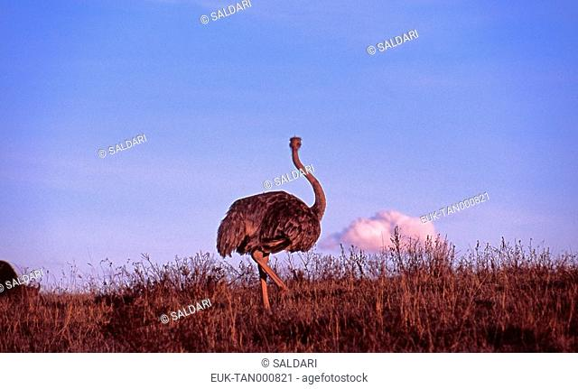 Ostrich, Ngorongoro, Tanzania