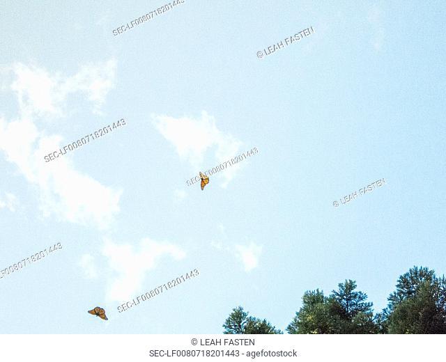 Vie of butterflies flying in sky