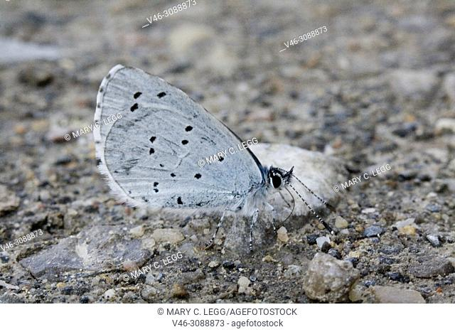 Holly Blue, Celastrina argiolus taking salts