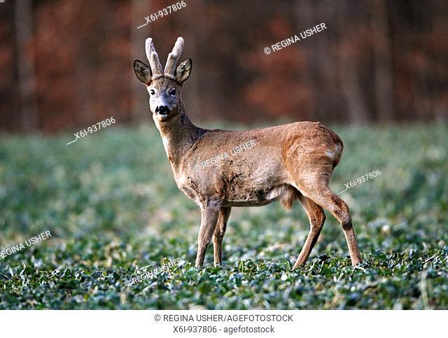 Roe Deer Buck (Capreolus capreolus), alert, with horns in bast, on field