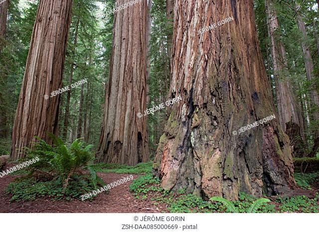 Giant redwood trees, Redwood National Park, California, USA