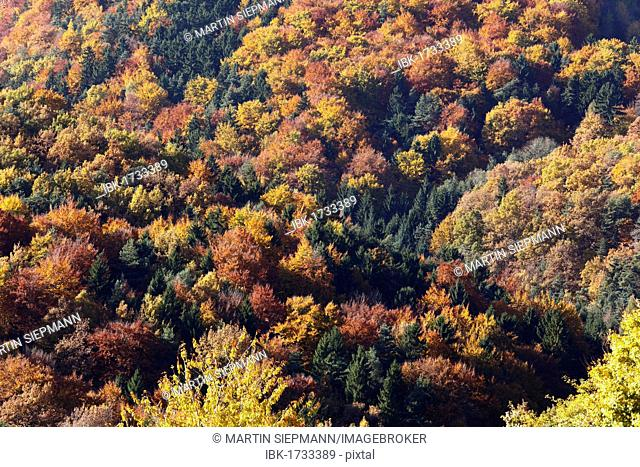 Autumnal mixed forest, town of Weissenkirchen in der Wachau, Waldviertel region, Lower Austria, Europe