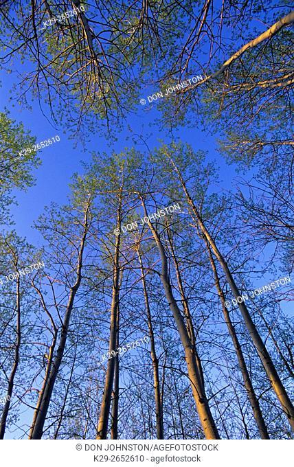 Trembling aspen (Populus tremuloides) Spring foliage, Geater Sudbury, Ontario, Canada