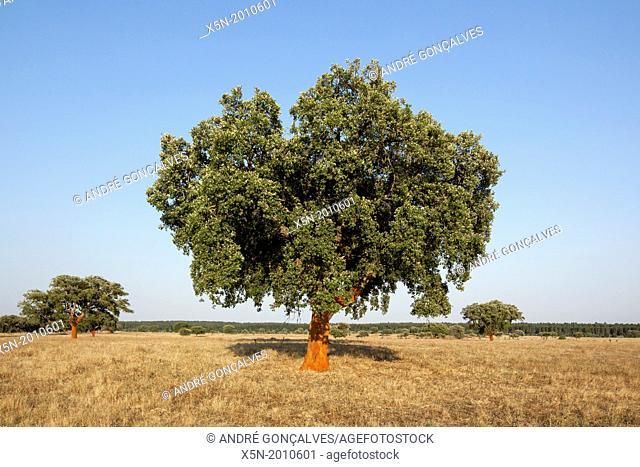 Cork Tree, Alentejo, Portugal, Europe