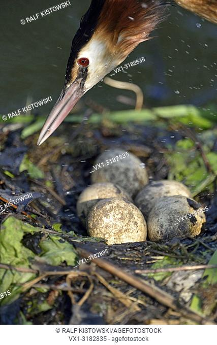 Great Crested Grebe ( Podiceps cristatus ), headshot, jumping on its nest, close up of a clutch of eggs