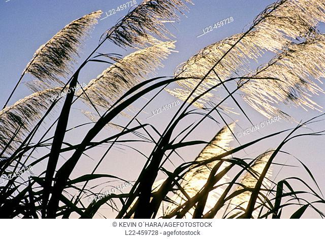 Sugar cane plantation. Saint Andre area. Reunion Island. Indian ocean. France