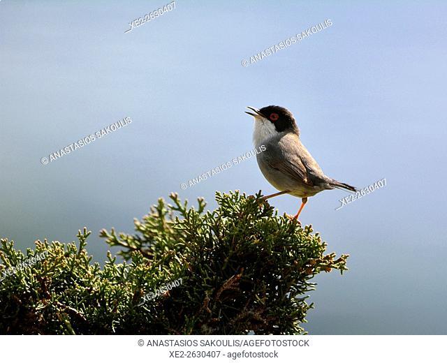 Sardinian Warbler - Sylvia melanocephala, Crete