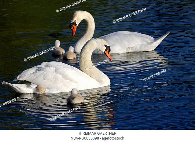 mute swan family of five cygnets with two climbing on the back of their mother