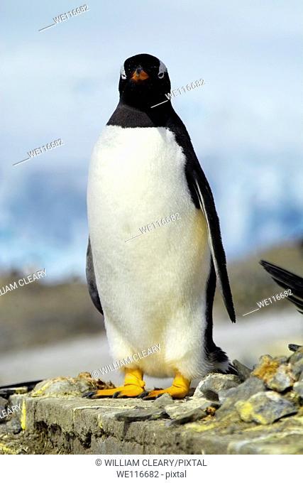 Gentoo penguin (Pygoscelis papua), Antarctica