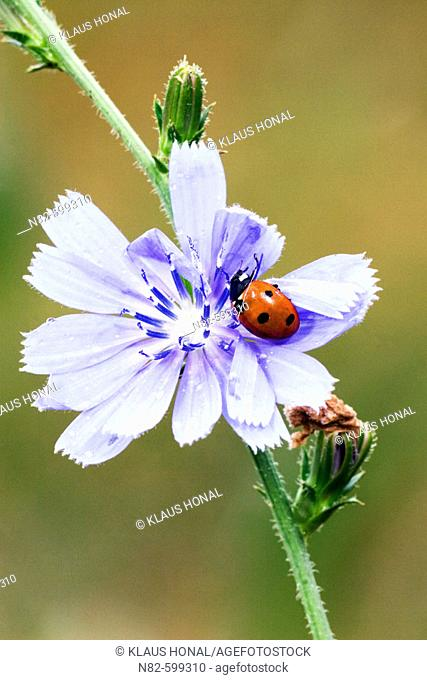 Seven-spot Ladybird (Coccinella 7 punctata) on Blue chicory flower or Blue sailors common chicory (Cichorium intybus)