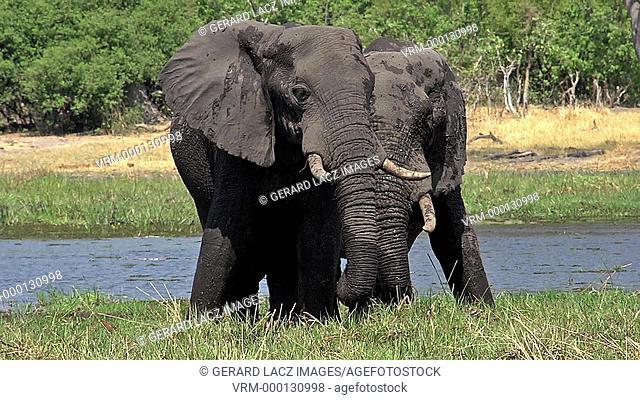 African Elephant, loxodonta africana, Adults eating Grass near Khwai River, Moremi Reserve, Okavango Delta in Botswana, Real Time