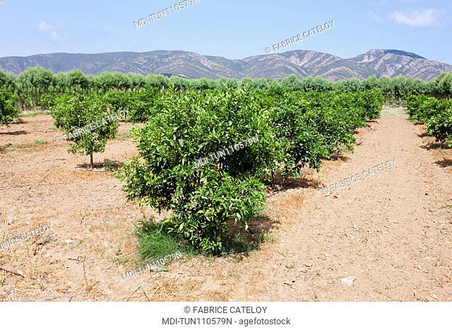 Tunisia - Cap Bon - Between Soliman and Korbous - Fields of citrus fruits