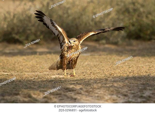 Long-legged buzzard with kill, Buteo rufinus, Tal Chhapar Sanctuary, Rajasthan, India