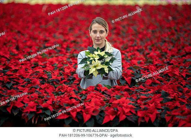 28 November 2018, Lower Saxony, Wiesmoor: Annemarie Gartemann is standing in the greenhouse between tables with red poinsettias (lat