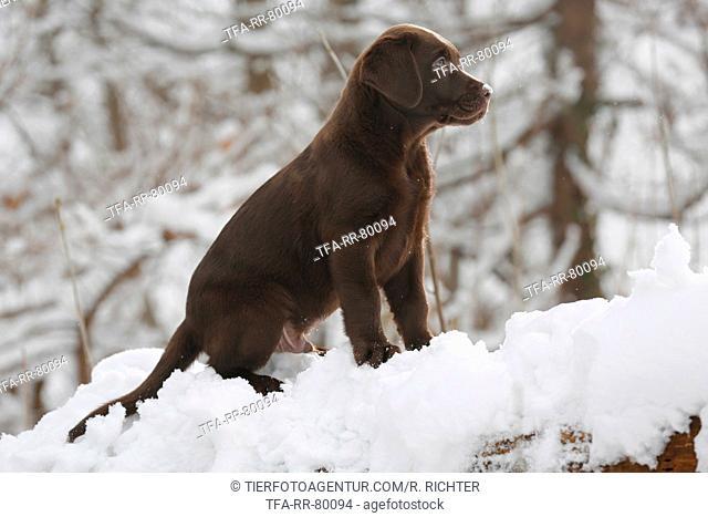 Labrador Puppy in snow
