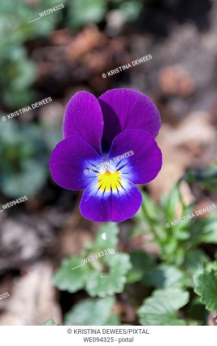 A single dark purple viola blooming in early April