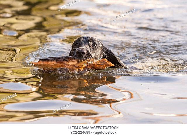 An English Springer Spaniel dog swimming in a Uk river fetches a stick