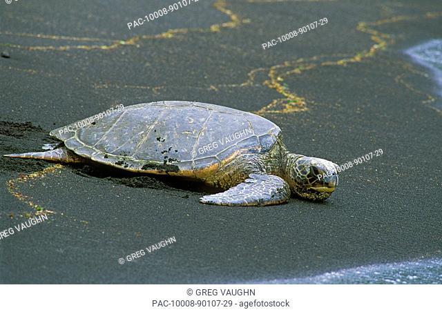Hawaii, Big Island, Punalu'u, Green Sea Turtle Chelonia Mydas resting on Big Islands black sand beach