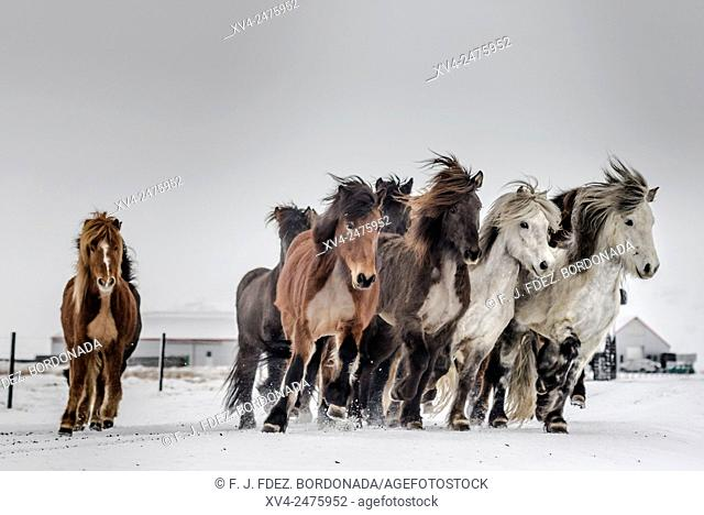 Horses herd racing in winter, Iceland