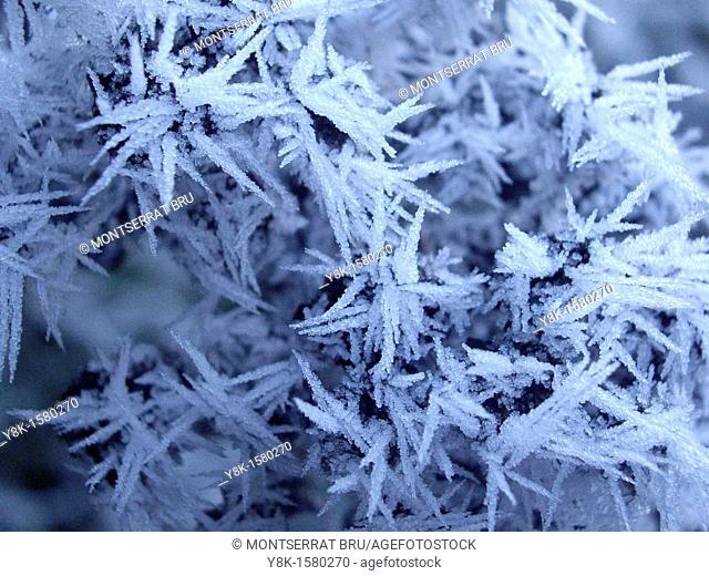 Frozen conifer needles