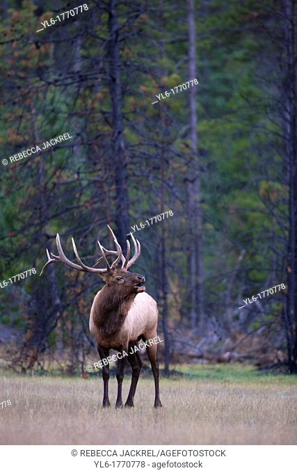 A bull elk bugles at the edge of a meadow