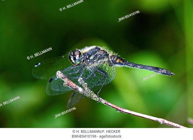 black sympetrum (Sympetrum danae), landing on a stem, side view, Germany