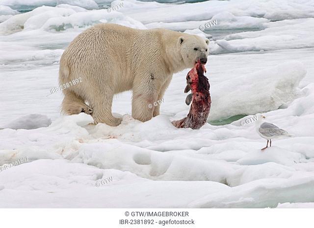 Male polar bear (Ursus maritimus) with a seal prey, Svalbard Archipelago, Barents Sea, Norway, Arctic