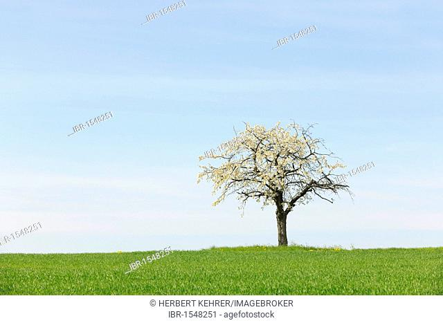 Flowering cherry tree on a wheat field in spring