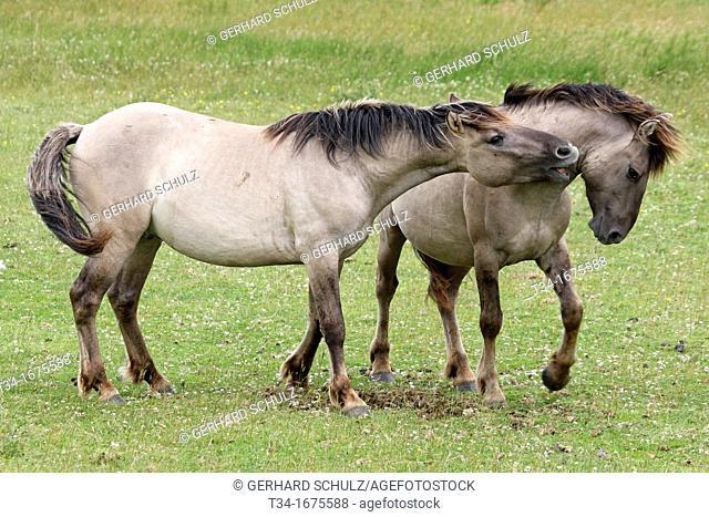 Konic Horse or Polish Primitive Horse, Epuus ferus caballus, Schleswig-Holstein, Germany