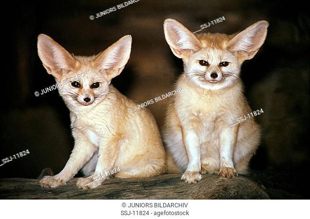 vulpes zerda / fennec foxes