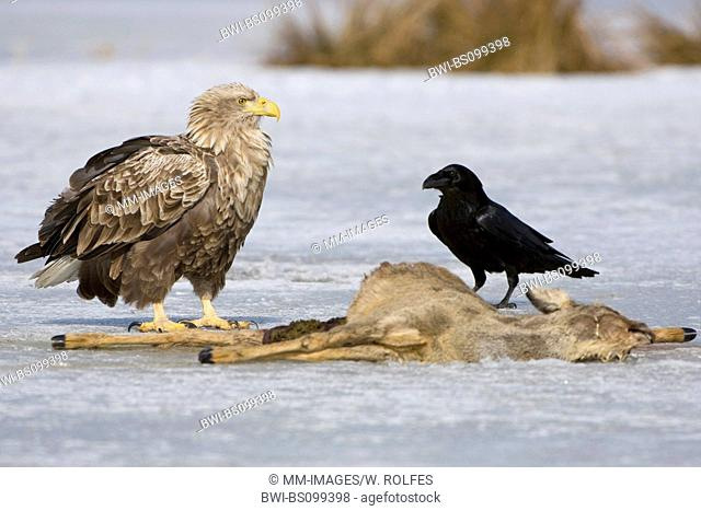 white-tailed sea eagle (Haliaeetus albicilla), with Common Raven (Corvus corax) at carcass of a roe deer in winter, Germany, Mecklenburg-Western Pomerania