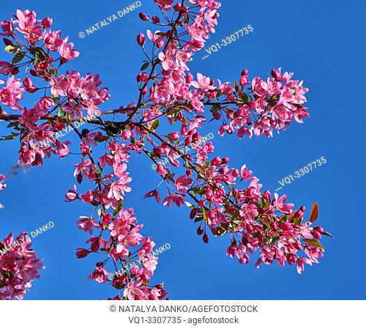 branch of decorative cherry with pink flowers , blue background
