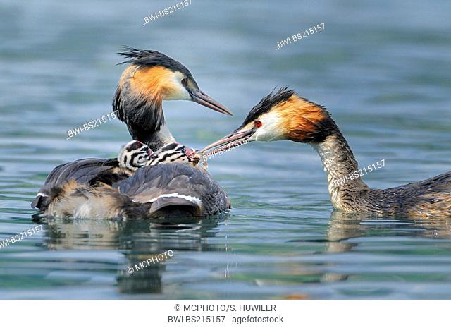 great crested grebe (Podiceps cristatus), parents swimming, chicks sitting on one parent, the other parent is feeding its chicks