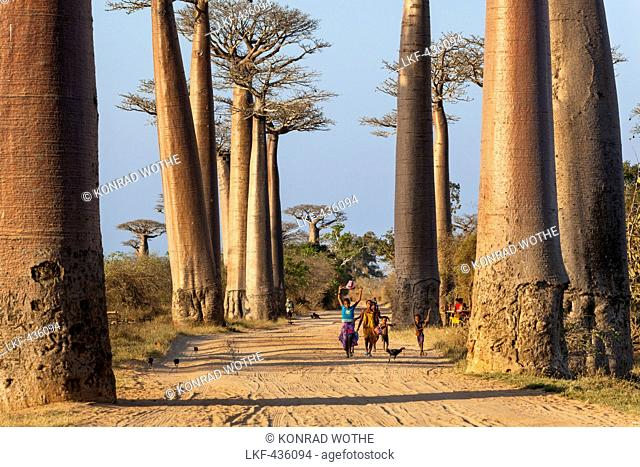 Baobabs near Morondava, Adansonia grandidieri, Madagascar