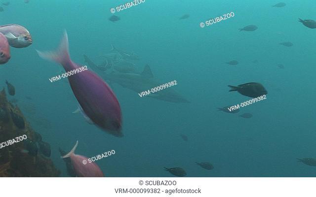 School of fish with Bronze Whaler Shark Carcharhinus brachyurus swimming through