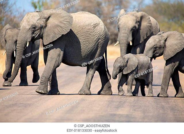 Breeding herd of elephant with small calf cross tar road
