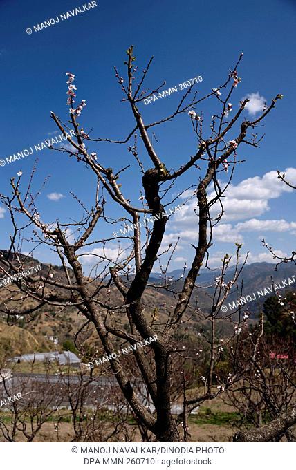 apricot tree, kasauli, himachal pradesh, India, Asia