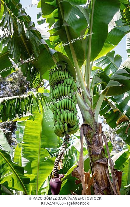 Bananas. Mto Wa Mbu, Manyara Lake. Tanzania